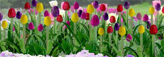 "Pack of 36 Tulips in assorted colours.1/2"" Height"